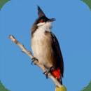 鸟的声音来自泰国