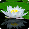 LotusFlower Live Wallpaper
