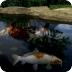 Koi Fishes Swimming In Pond