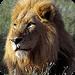 动物们:狮子