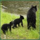 阿拉斯加动物壁纸