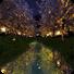夜樱花壁纸