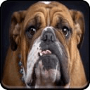 English Bulldog Live Wallpaper