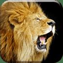 Lion2 Live Wallpaper