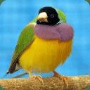 Talking Finch Bird