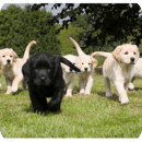 go walkies for Guide Dogs