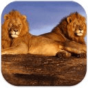 African Lion Wallpapers HD