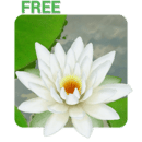 3D Lotus Live Wallpaper Free