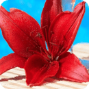 wallpaper red lily flower