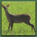 鹿狩獵呼叫