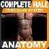 三维肌肉解剖