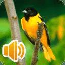 免费鸟叫的声音