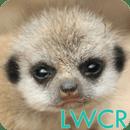 婴儿猫鼬LWP
